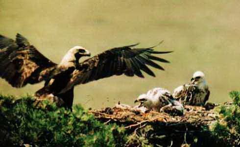 орел белоголовый ольхон