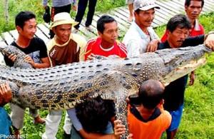 убитый крокодил