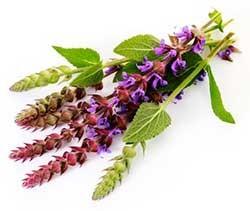 Salvia shalfey