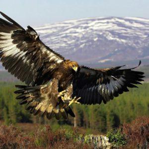 Орел беркут кавказский