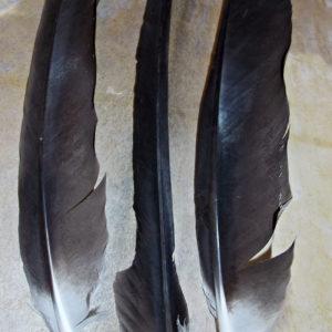 Перья орла беркута купить