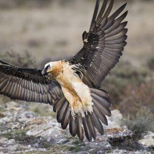 Орел бородач кавказский